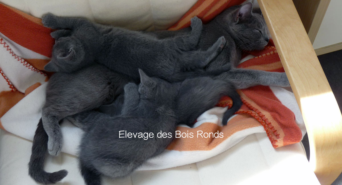 Maman et chatons Chartreux