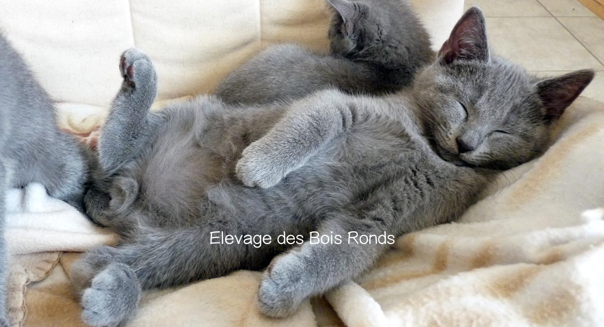 Photo Chartreux mâle